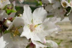 Fiore-di-Mandorlo