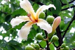 Chorisia-in-fiore